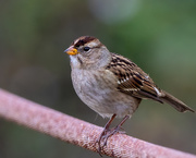 22nd Oct 2020 - Immature White-crowned Sparrow
