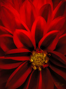 19th Oct 2020 - Red Dahlia