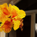 CANNA LILY 'PICASSO''