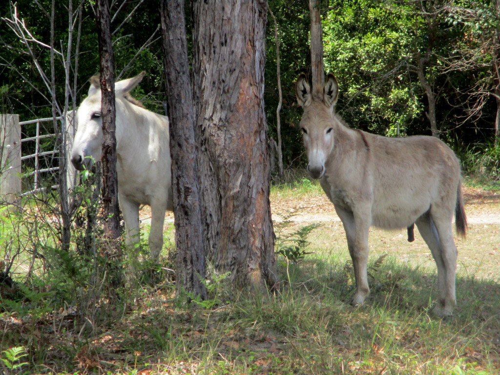 Donkeys used to keep wild dogs from killing the baby camels which they do quite often by 777margo