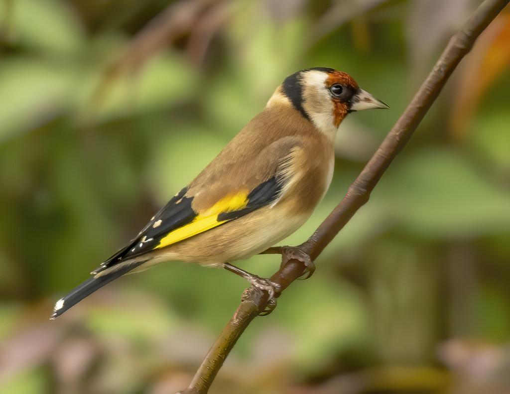 Goldfinch by shepherdmanswife
