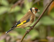 23rd Oct 2020 - Goldfinch