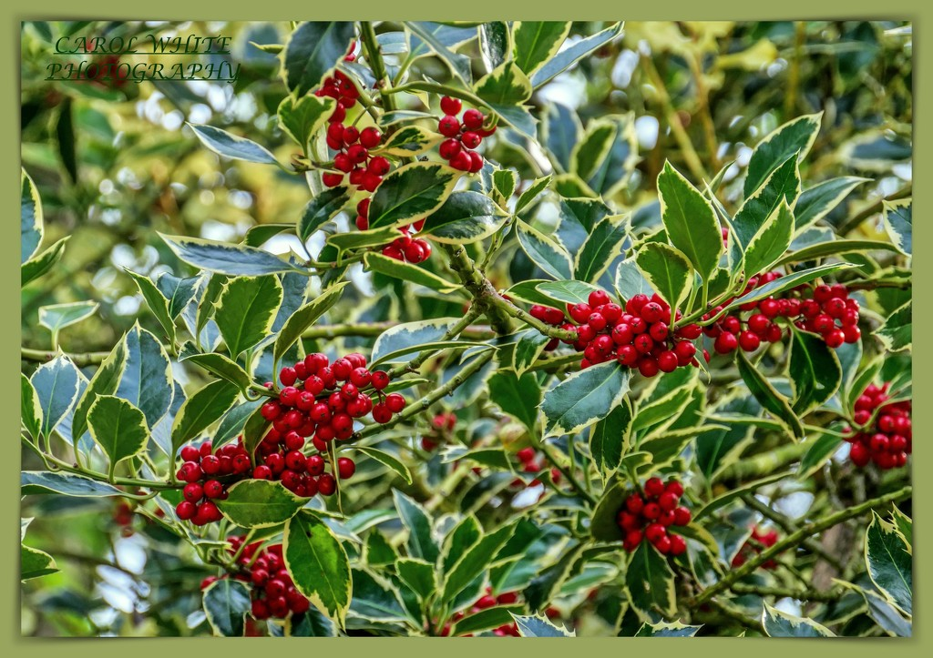 Variegated Holly by carolmw