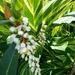 Variegated Shell Ginger......Alpinia zerumbet  variegata ~