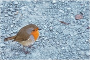 23rd Oct 2020 - This cheeky robin was so tame it hopped right up to me, hoping for food probably!