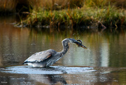 22nd Oct 2020 - The Great Blue Heron