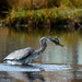 The Great Blue Heron  by novab