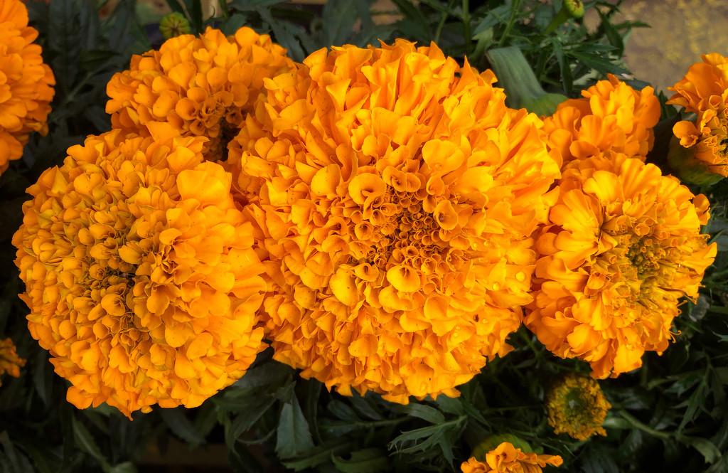 Marigolds by loweygrace
