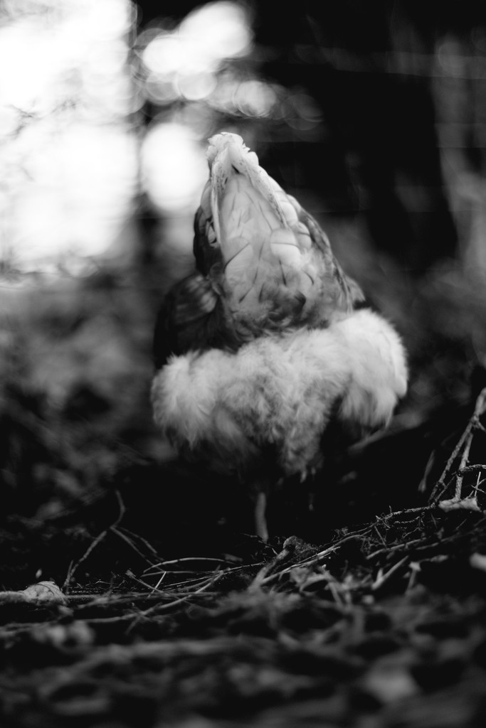 Foraging Hen by motherjane