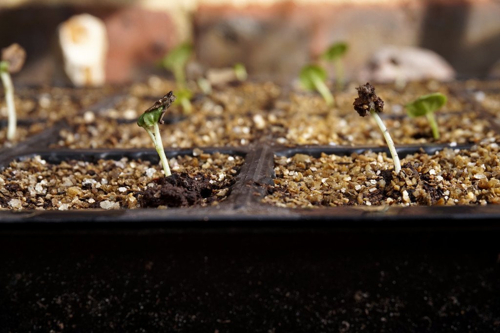 Oct 22nd Hollyhock Seedlings by valpetersen