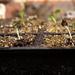 Oct 22nd Hollyhock Seedlings