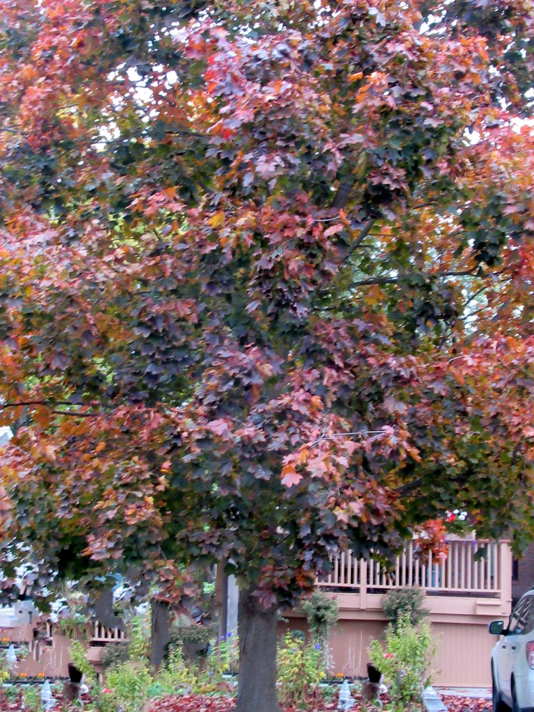 A picture of our maple tree by bruni