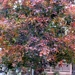A picture of our maple tree