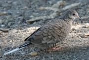 16th Oct 2020 - Inca Dove
