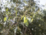22nd Oct 2020 - hard to catch the fantails