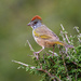 Green Tailed Towhee by backyardbirdnerd