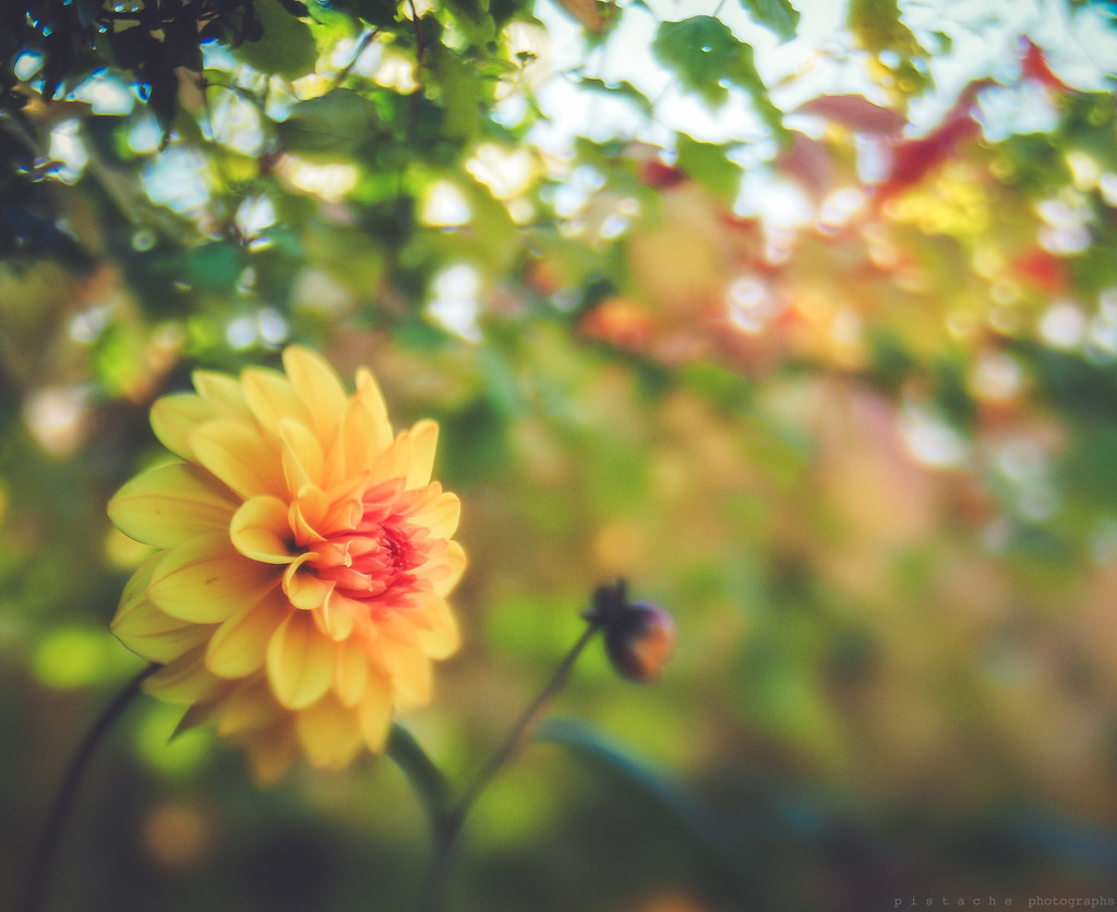 dahlias soldier on by pistache
