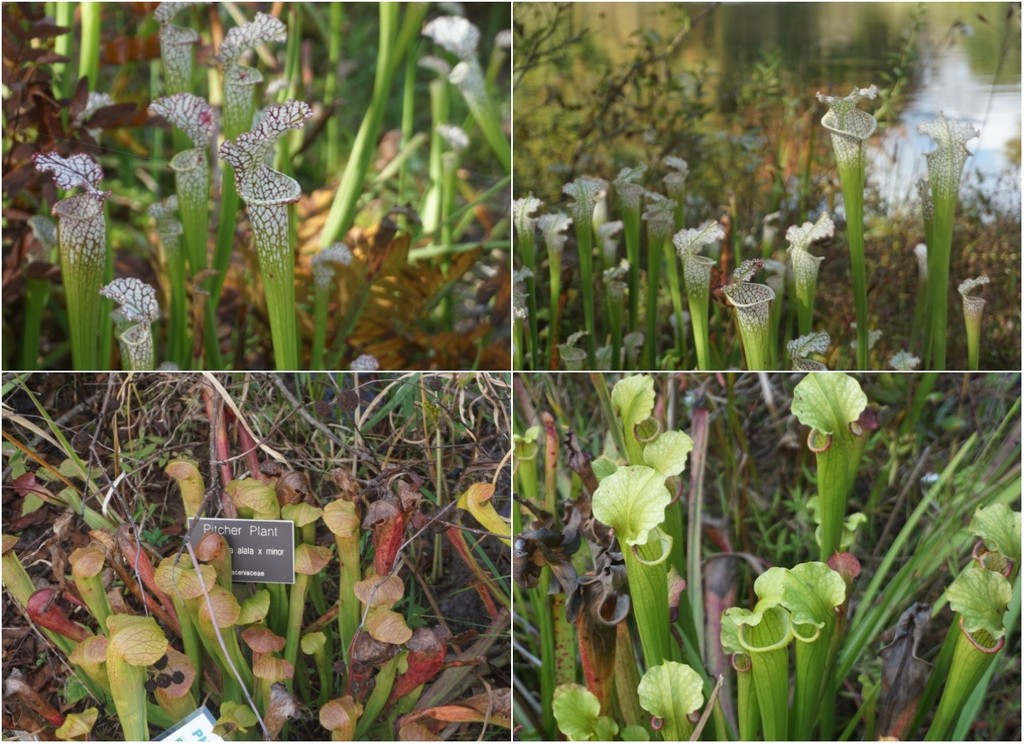 The Pitcher Plant Chorus in Harmony by allie912