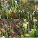 The Pitcher Plant Chorus in Harmony