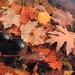 Autumn Detritus in Lake Mel