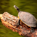 Turtle Getting a Little Sun! by rickster549
