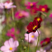 23rd Oct 2020 - More cosmos