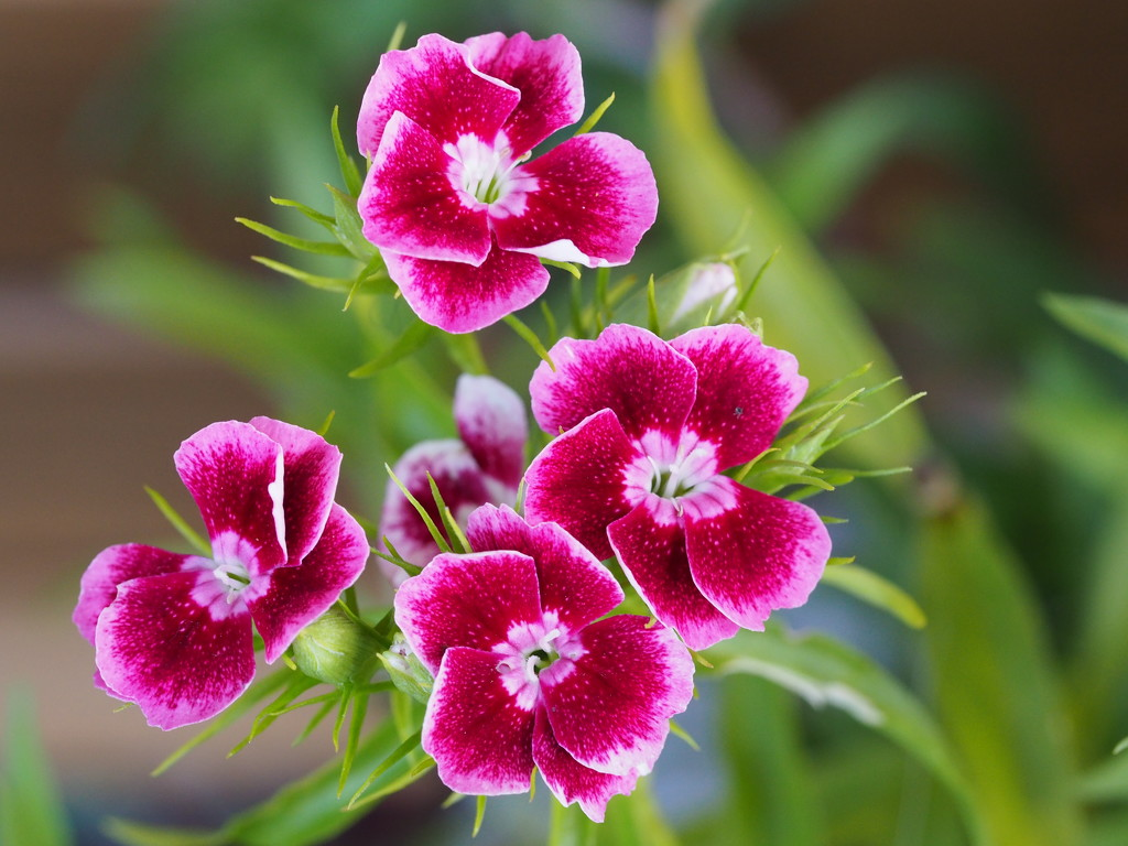 Oh Sweet William by katford