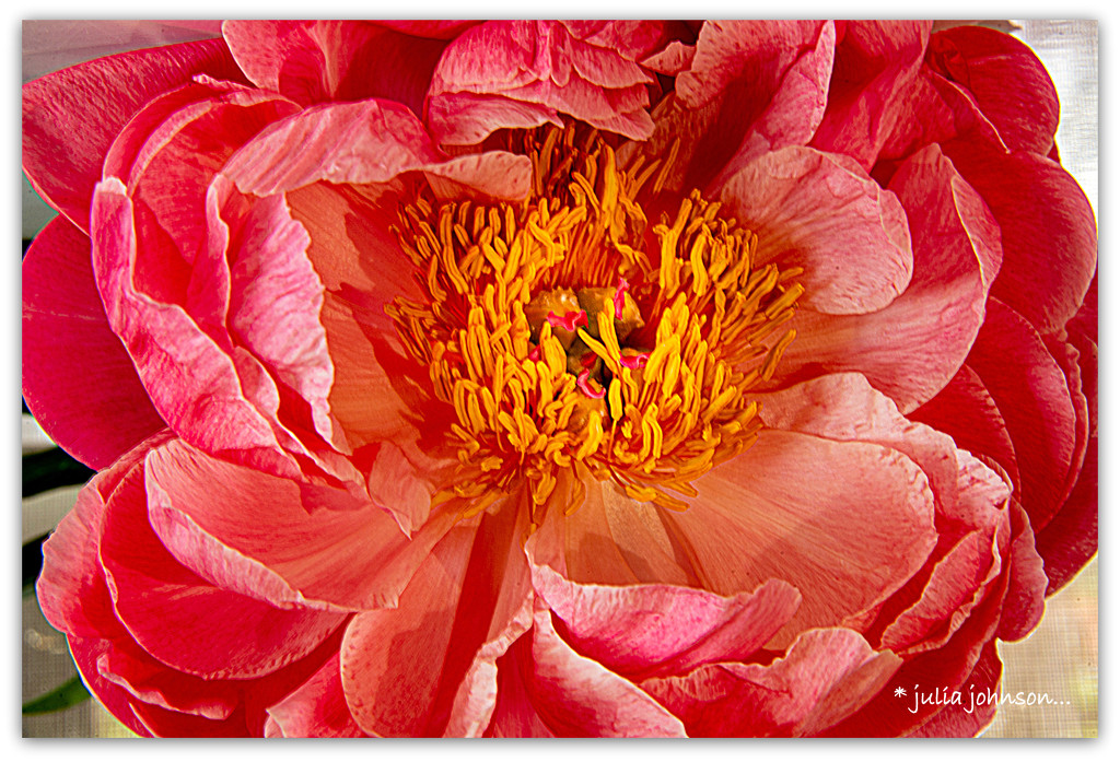 Close up of a Peonie.. by julzmaioro