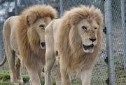 21st Oct 2020 - African Lions