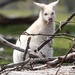 Albino Wallaby