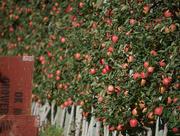 5th Oct 2020 - So Many Apples