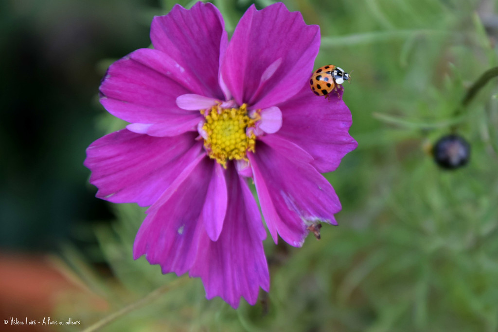 Ladybug in Cosmos by parisouailleurs
