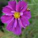 Ladybug in Cosmos