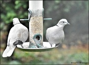 24th Oct 2020 - Collared doves