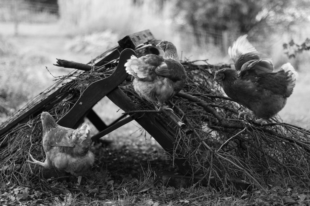 Playing Hens by motherjane
