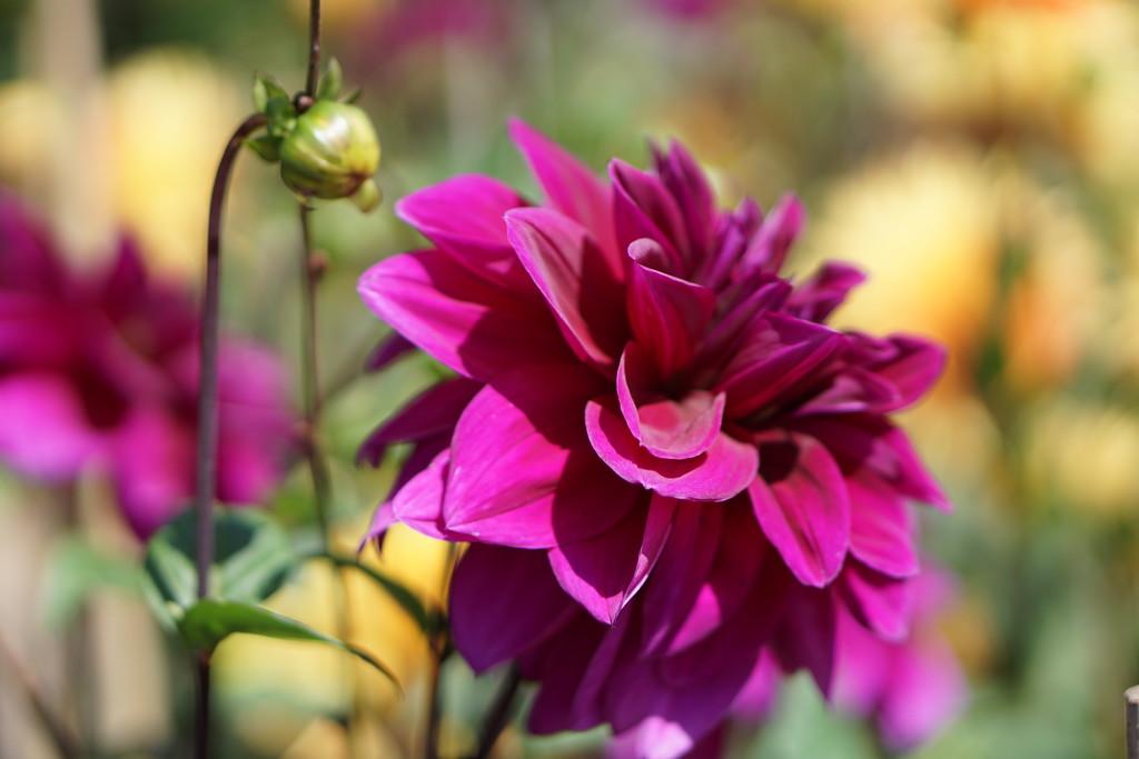 a bright dahlia... by quietpurplehaze