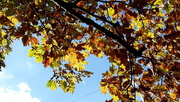 23rd Oct 2020 - Fall Leaves