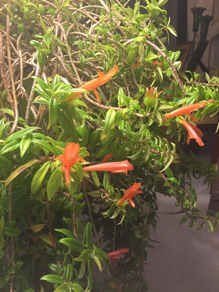 Goldfish plant comes inside  by kchuk