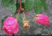 24th Oct 2020 - Last Rose of Summer