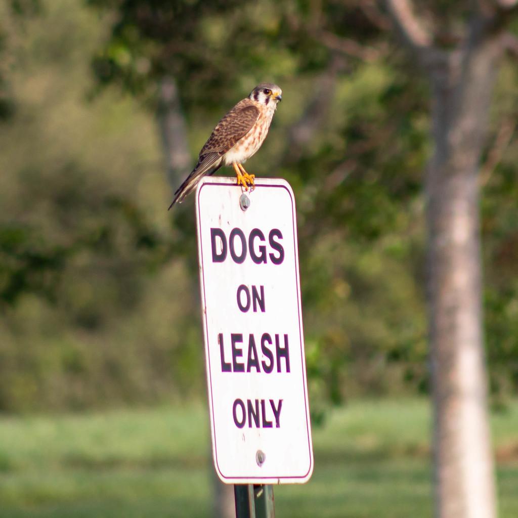 American sparrow hawk on duty. by dutchothotmailcom