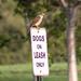 American sparrow hawk on duty.
