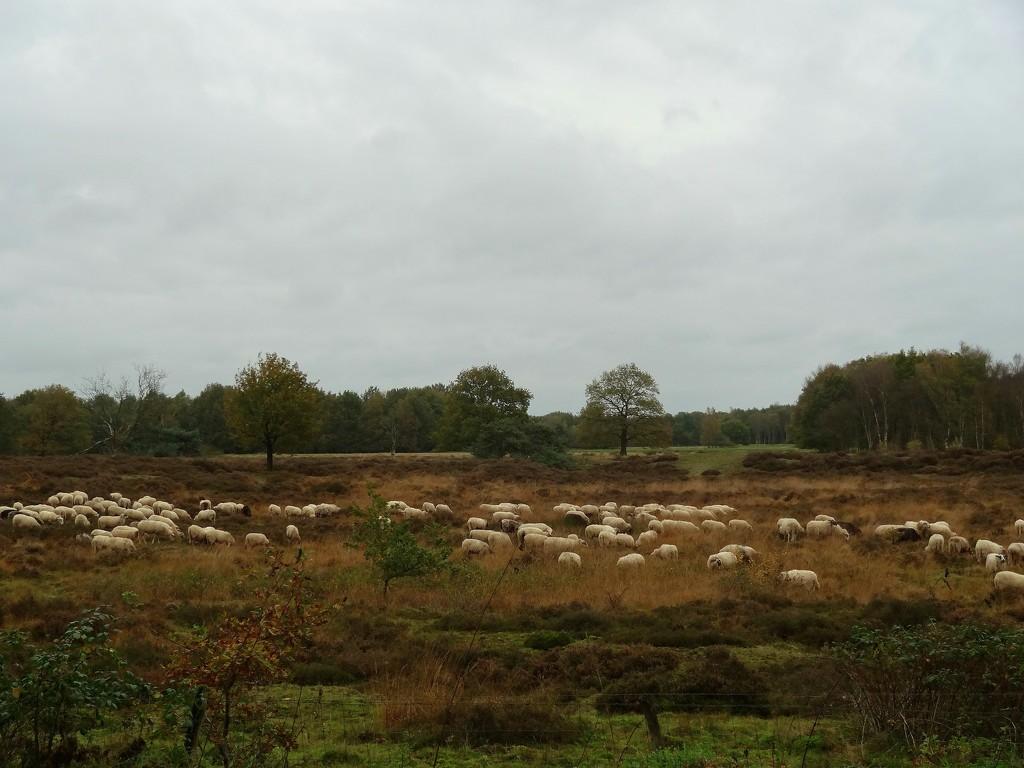 flock of sheep by gijsje
