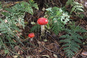 24th Oct 2020 - The ``King`` of toadstools