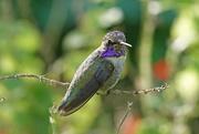 15th Oct 2020 - Costa's Hummingbird