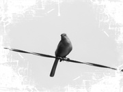 25th Oct 2020 - Mean ol' mocking bird on the wire...
