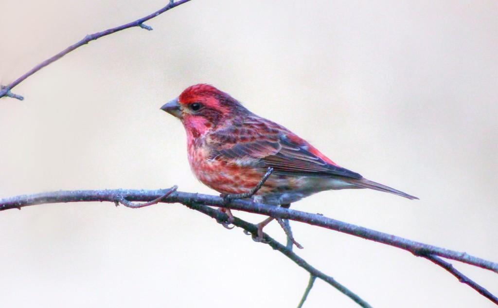 Purple Finch Or Pine Grosbeak? by paintdipper