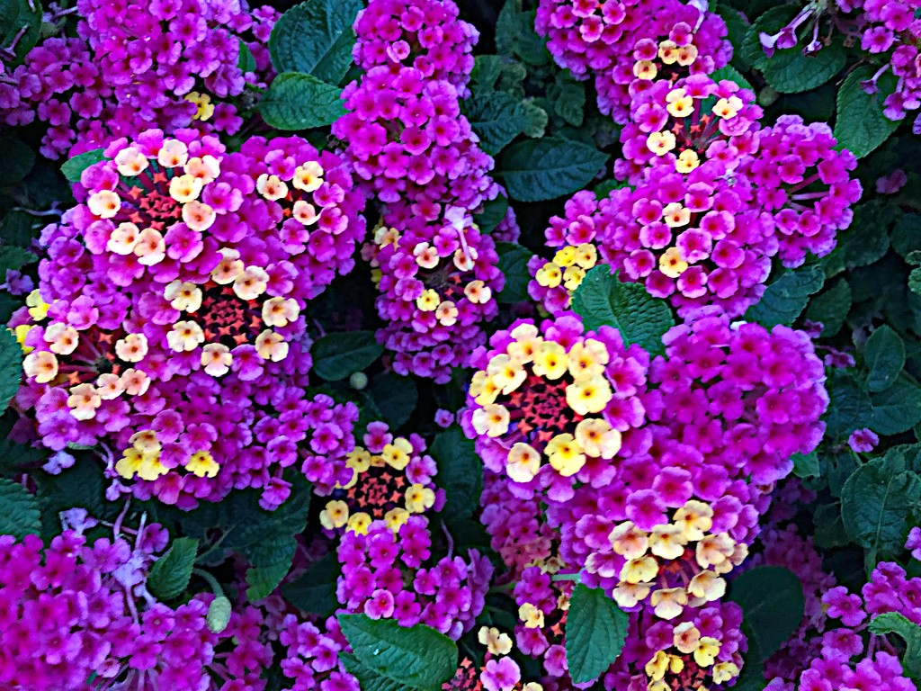 Lantana or butterfly bush by congaree