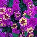 Lantana or butterfly bush