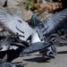 ~Pigeons~