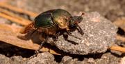 24th Oct 2020 - Rainbow Scarab Beetle!